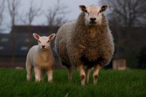 sheep-384608__340